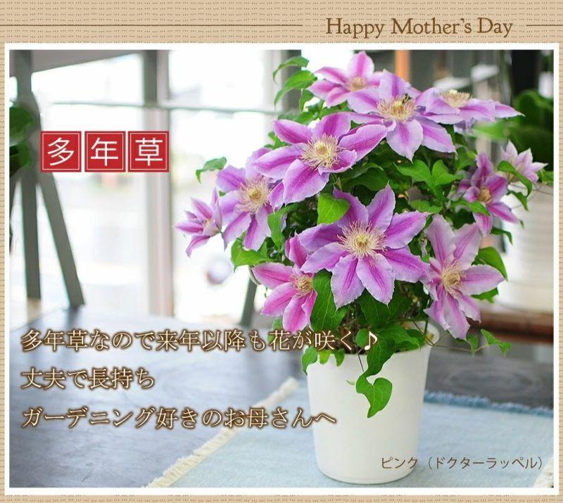 2021母の日 クレマチスの鉢花